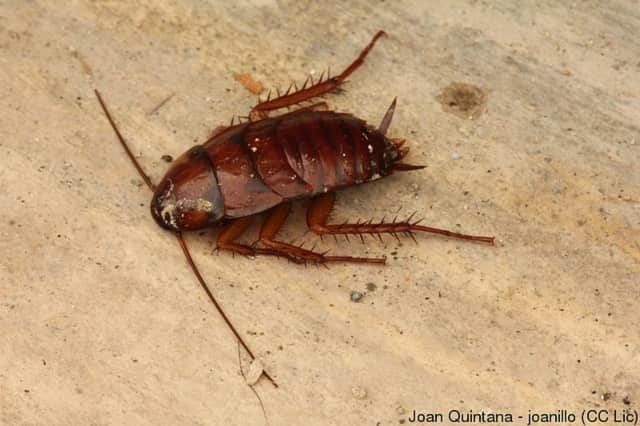 """Cockroach """"milk"""" is not yet available commercially, but researchers believe it shows promise."""