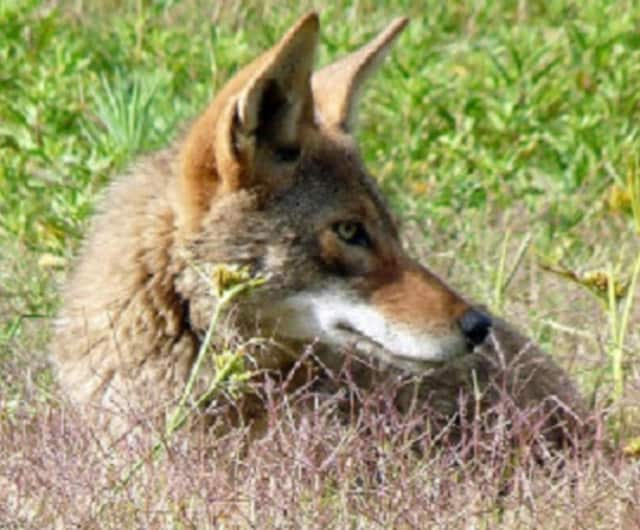 Ossining police have called in a trapper and are warning residents to be cautious after receiving reports of coyote sightings in two riverside neighborhoods.
