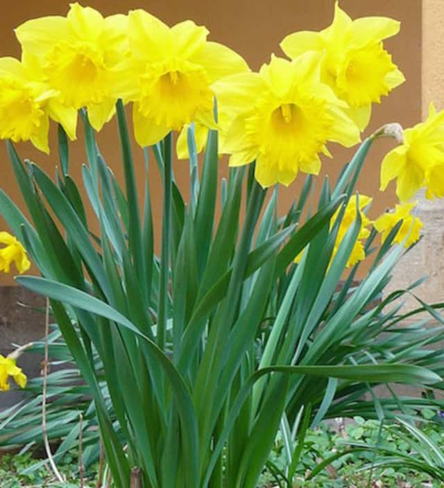 A daffodil garden is being established in memory of Kerry Sauner, a Waldwick resident who lost her battle to a rare sarcoma.