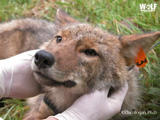 Muscoot Farm will host Coyote Awareness Day on Saturday.