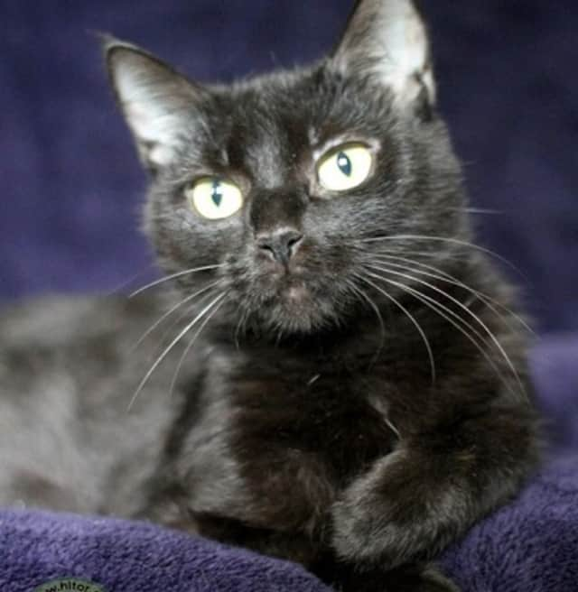 Dee Dee, a 2-year-old domestic shorthair cat, is up for adoption at the Hi Tor Animal Care Center in Pomona.