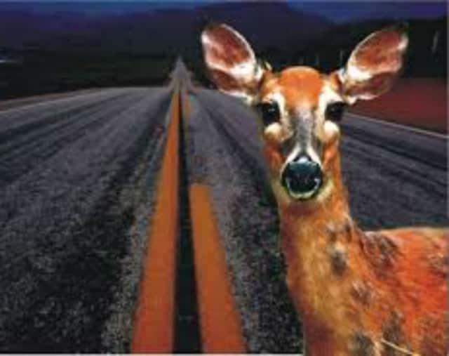 Deer breeding season is in full swing, and this is when most deer-car collisions happen.