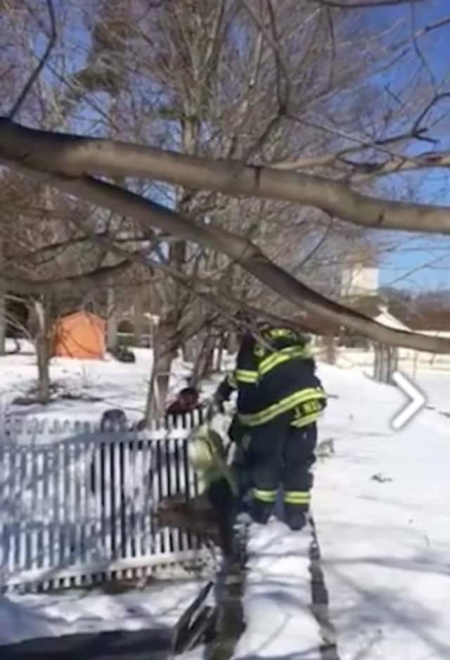 Greenwich firefighters save a deer stuck in a fence Thursday.