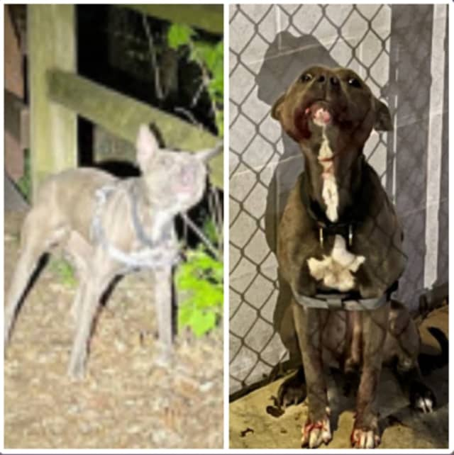 Malnourished, young, gray pitbull left in a park in Carlisle.