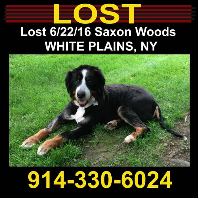This dog is missing in White Plains.