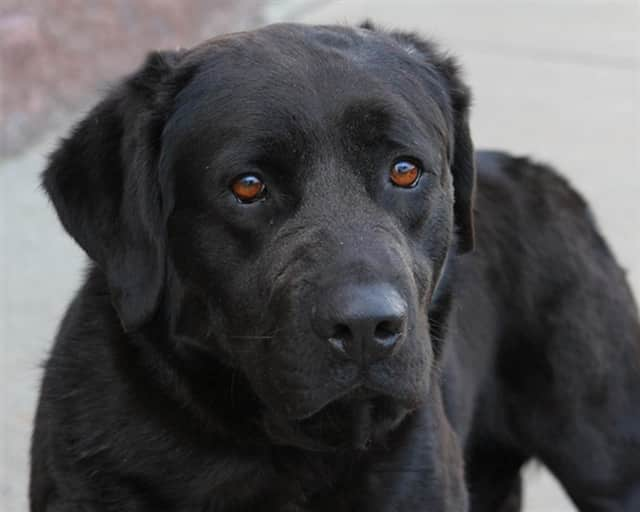 Buddha escaped from a vet and survived alone in the woods for three years. He is available for adoption with RBARI in Oakland.