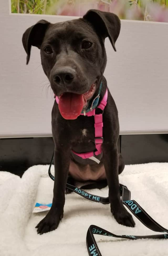 Roxy was found in a Georgia dumpster with her littermates. She is a lab-pitbull mix.