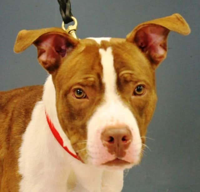 Can you guess how Peanut Butter got his name? Adopt him now from the Bergen County Animal Shelter.