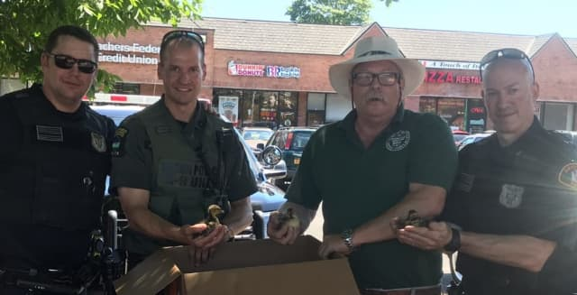 Four baby ducks that got stuck in a storm drain on display with officers in Amityville.