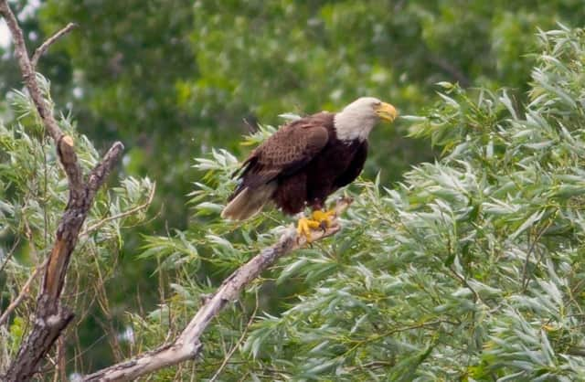 Bald eagles are nesting in the Hackensack River Watershed.