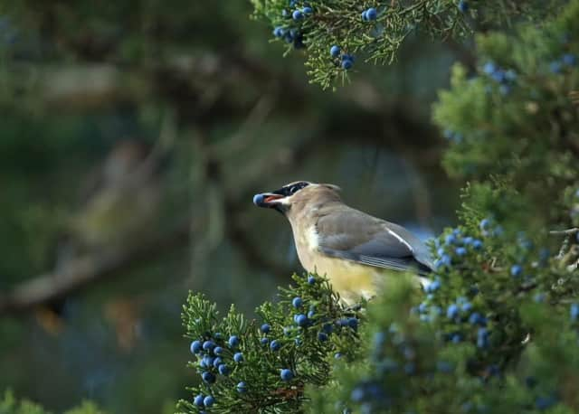 A Waxwing enjoys Juniper Berries.