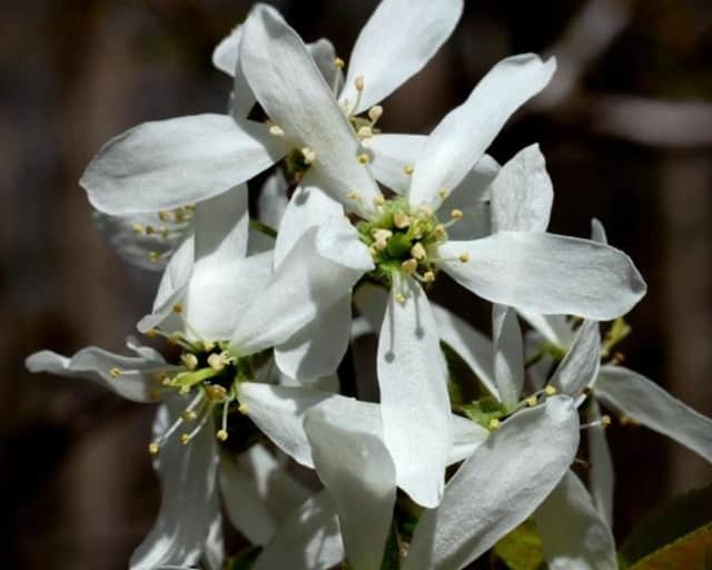 Allegheny Serviceberry flowers are a good spring resource for bees.