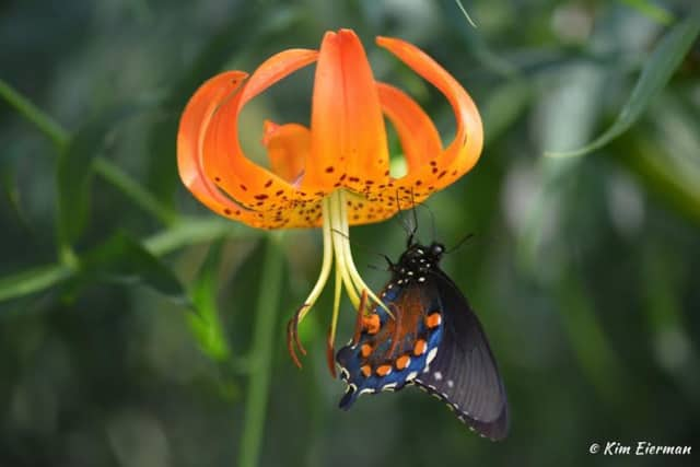 Swallowtail Butterfly on Turk's Cap Lily.