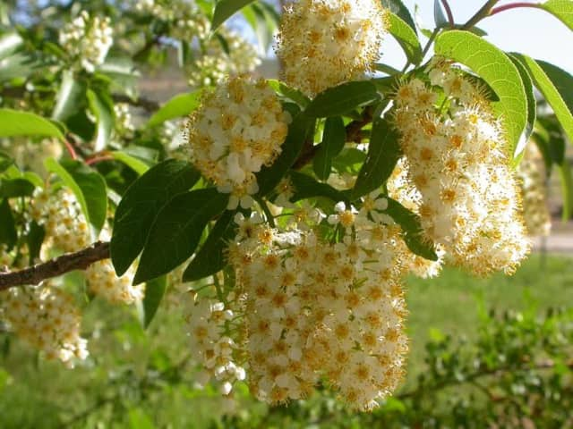 Flowers of Native Chokecherry, which is an ecological workhorse.
