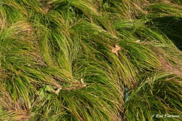Native Sedge is a good a lawn alternative.