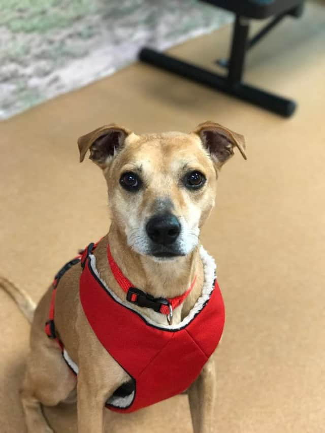 Holly, 9, found roaming the streets on Christmas Eve awaits adoption at PAWS in Norwalk. Contact the shelter to inquire.