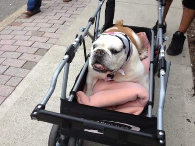 This pup enjoys a ride in a stroller at last year's pet walk.