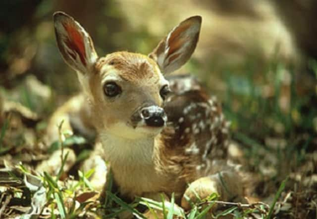 It is not uncommon to see baby deer out in the open and on their own in the region this time of year. Experts say leave them be.