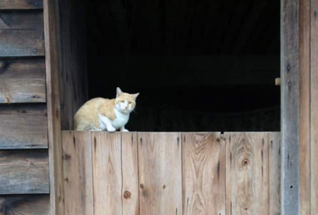 Fred, the security cat, is on the job at the new Dutch barn at Philipsburg Manor.
