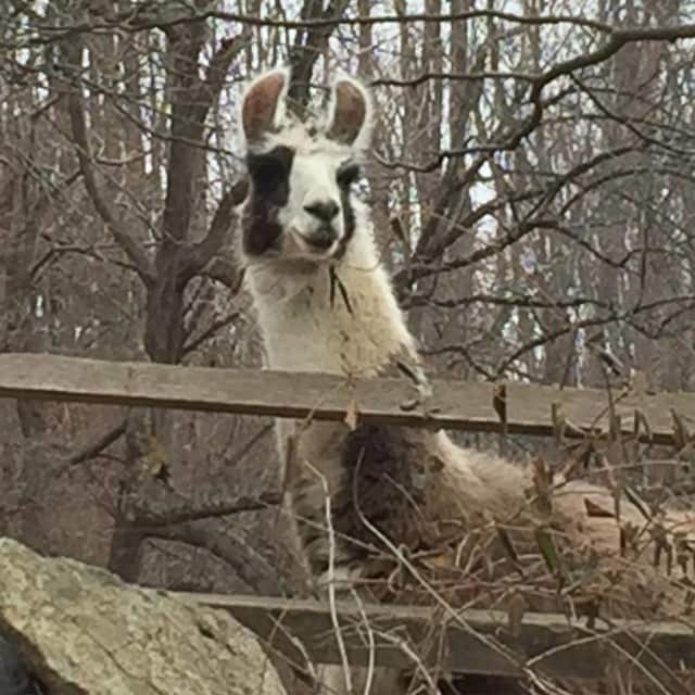 Frosty the llama peeks over a fence at SunRaven, a holistic health center in Bedford, recently.
