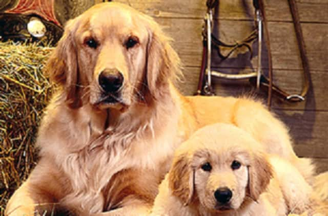 Golden retrievers rescued from Turkey through Golden Re-Triever Rescue Inc. have homes waiting for them.