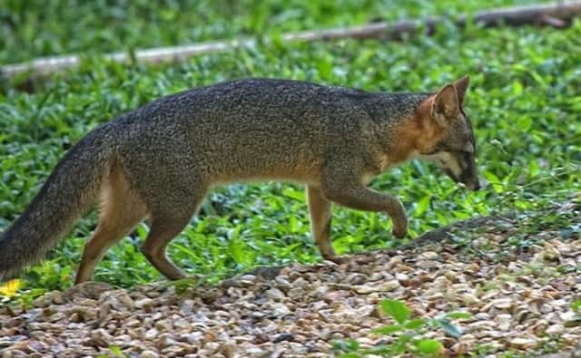 A gray fox tested positive for rabies after it attacked a Stamford woman and her son and also reportedly chased people on Country Club Road last week.
