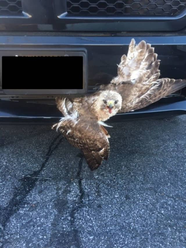 Nassau County police officers saved a red-tailed hawk stuck in the grill of a truck.