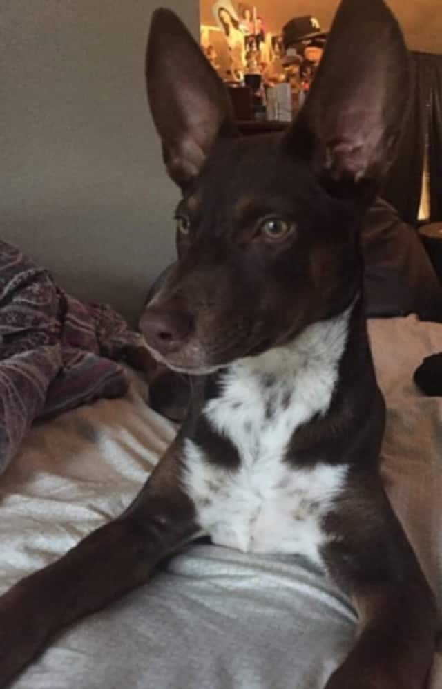 Hazel, a 5-month-old Basenji-chocolate Lab mix, was found dead in Yonkers, the apparent victim of a hit and run.