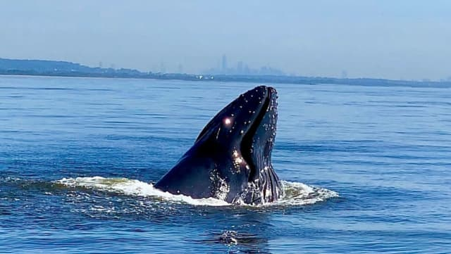 A humpback whale was spotted in a New York harbor.