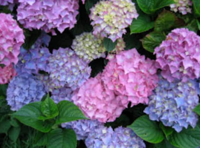 The Darien Community Association will host a luncheon and seminar on caring for hydrangeas and roses on Tuesday, May 3.