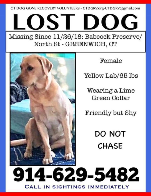 Lost Yellow Lab in Greenwich - 'Reese'