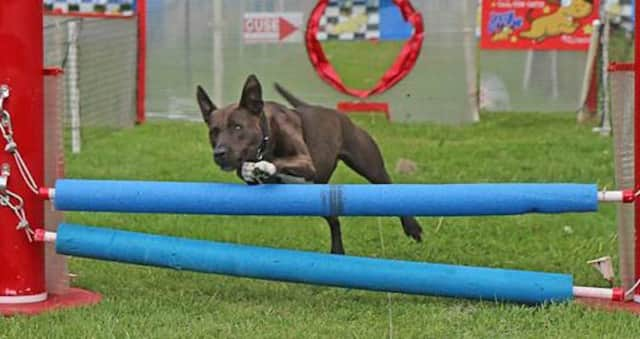 Opal the pit bull handily beat more than 100 competitors at the Westport Dog Festival's Fastest Dog contest last year. This year's festival has been postponed until May 27.