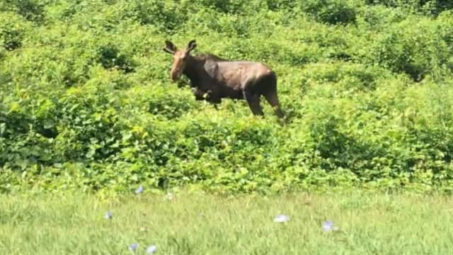 This moose was seen on the side of the Bear Mountain Parkway on the Peekskill/Cortlandt border in July. Local experts are reminding people to respect wild animals, lohud.com reports.