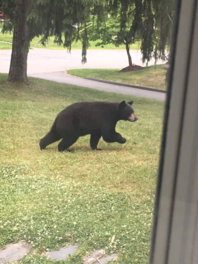 A black bear visiting a Poughkeepsie neighborhood.