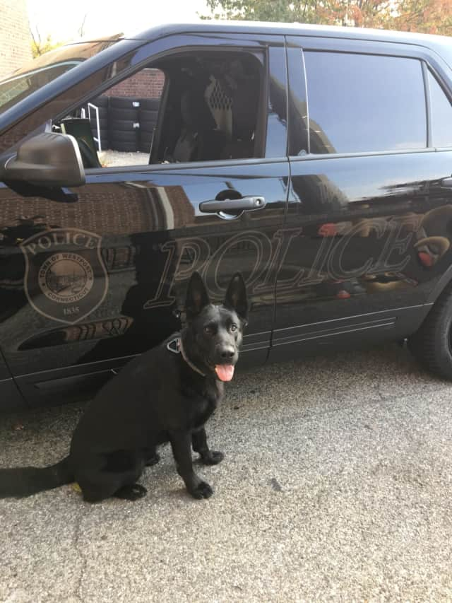 Westport Police Department K9 Atlas will receive a bullet and stab protective vest thanks to a charitable donation from non-profit organization Vested Interest in K9s, Inc. An anonymous donor sponsored the vest.