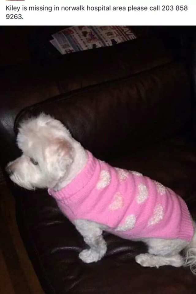 Kiley, a female white Maltese, is reported missing from the Silk Street area near Norwalk Hospital.