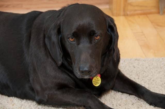 Labrador retrievers' tendency towards obesity can be blamed on genes, according to a recent scientific study.