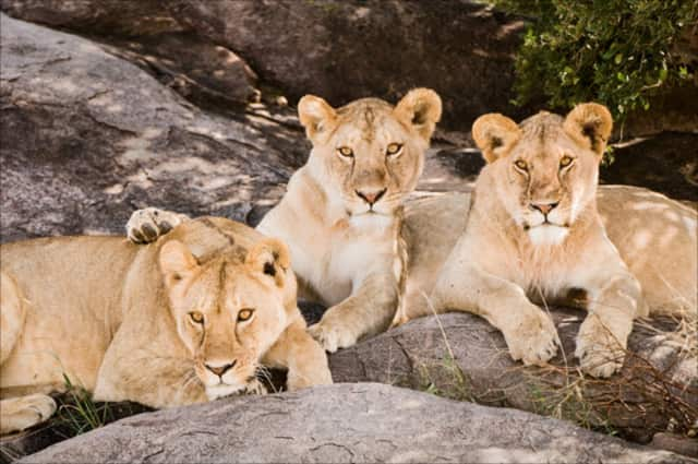 """""""Lion Trio,"""" by Karen Ann Sullivan is one of the 37 photographs by Westchester County photographers on display through Sept. 9 at United Hebrew of New Rochelle."""