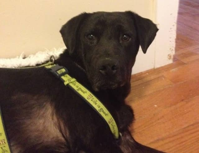 Hutch, a foster dog, has gone missing from his temporary Verplanck digs. The Lab mix is suffering from several ailments and is likely very scared.