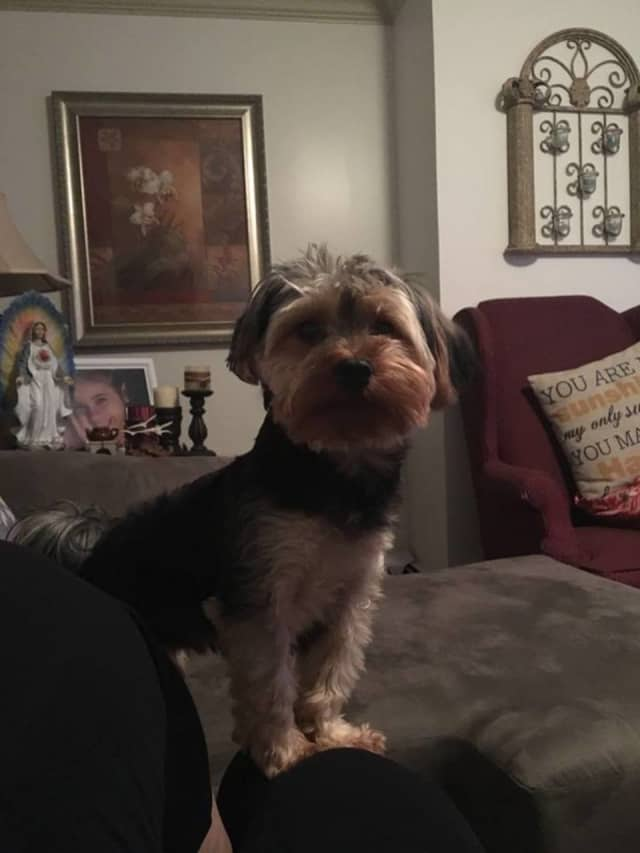 Rocky, a yorkipoo, went missing in Yonkers this past weekend. His owner posted this picture on the website, Lost Pets of Westchester County, in the hopes of finding the 11-pound pooch.