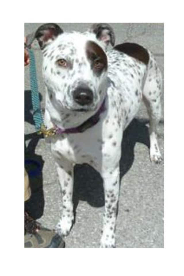 G, a blue heeler mix, is one of many adoptable pets available at the Putnam Humane Society in Carmel.