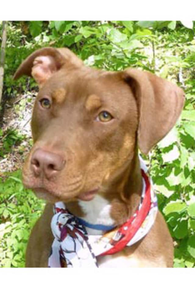 Twix, a Doberman mix, is among the many adoptable pets available at the Putnam Humane Society in Carmel.