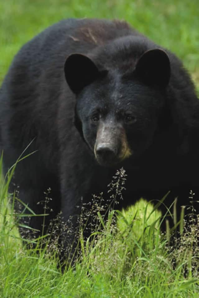 A black bear like this one has been seen in Weston recently, according to police.