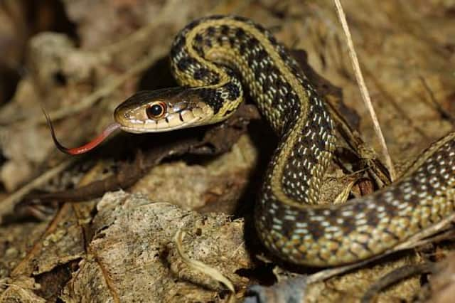 Learn about the many snakes native to Connecticut at a Sept. 4 program at The Ridgefield Discovery Center.