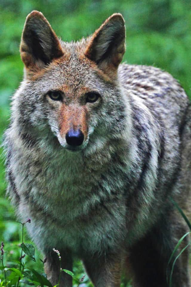 A discussion about co-existing with coyotes will take place Monday at the Mount Kisco library.