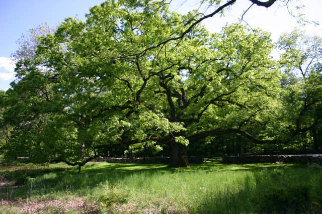 The Bedford Oak, estimated to be about 500 years old, is in good health according to a new study.