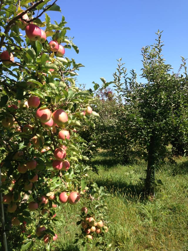 It will be a great weekend for apple picking in Orange County.