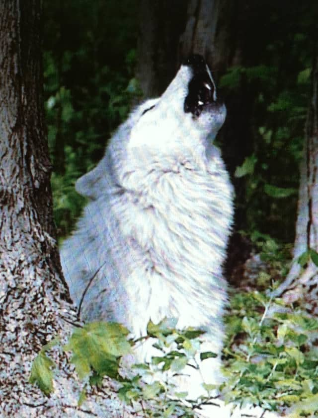 Atka, the ambassador wolf from the Wolf Conservation Center, will be the main attraction at The Woodcock Nature Center's Family Howl Prowl on Friday, Oct. 25.