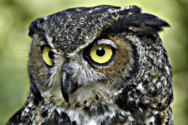 Maybe you will spot a great horned owl at the Weir Farm Owl Prowl.
