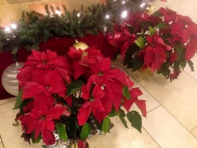 The Monroe Women's Club will be selling Poinsettias this holiday season.